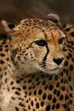 Closeup of a beautiful cheetah face Royalty Free Stock Photography