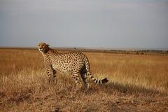 Cheetah poses Stock Images