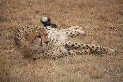 Cheetah poses Royalty Free Stock Photography