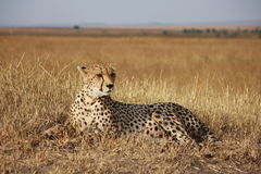 Cheetah poses Royalty Free Stock Photo