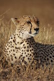 Cheetah poses Stock Image