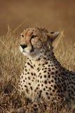 Cheetah poses Royalty Free Stock Photos