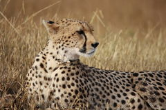 Cheetah poses Stock Photography