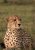 Cheetah posing Stock Images