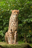 Cheetah posing Stock Photos