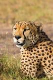 Cheetah potrait. Lying down on the savannah Stock Image