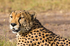 Cheetah potrait Royalty Free Stock Photos