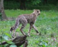 Cheetah potrait Stock Images