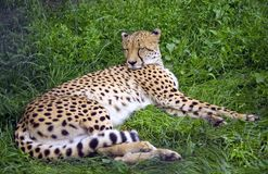 Cheetah predator leopard Africa  cat family. Cheetah predator leopard Africa cat family Serengeti Royalty Free Stock Image