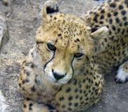 Cheetah predator mammal leopard africa. Spotty claws canines Stock Images