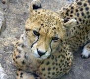 Cheetah predator mammal leopard africa Stock Images