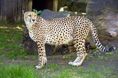 Cheetah predator mammal leopard cat family. Africa spotty Royalty Free Stock Photos