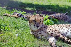 Cheetah - predatory mammal of the cat family, lives in most countries of Africa, as well as in the Middle East. Cheetah Latin Acinonyx jubatus - predatory royalty free stock image