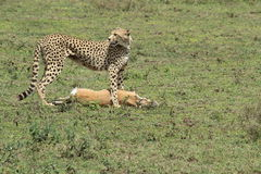 Cheetah with prey Stock Images