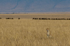 Cheetah and Prey. Landscape view of cheetah on open plains of Masai Mara Serengeti ecosystem, East Africa, with herd of wildebeest moving in background Royalty Free Stock Image