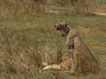 Cheetah and Prey Stock Image