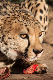 Cheetah and prey Royalty Free Stock Image