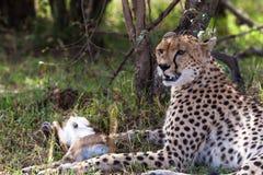 Cheetah with prey under tree. Masai Mara. Kenya Royalty Free Stock Photography