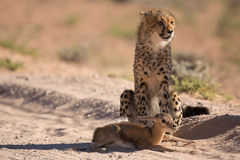 Cheetah with prey Royalty Free Stock Image