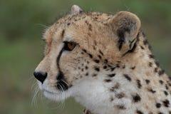 Cheetah Profile Stock Photos
