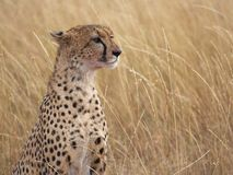 Cheetah profile Stock Photography