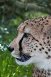 Cheetah profile Stock Image