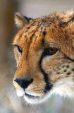 Cheetah profile Royalty Free Stock Photos
