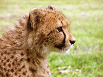 Cheetah profile. Profile of a toung cheetah Stock Photography
