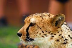 Cheetah portrait. A close up of a cheetah (profile Stock Photo