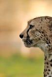 Cheetah profile (Acinonyx jubatus) Stock Photos