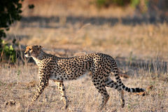 Cheetah on the prowl Royalty Free Stock Photos