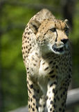 Cheetah on the Prowl Stock Photo