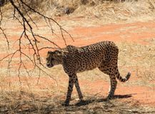 Cheetah on the prowl. In Okonjima National Park, Namibia Royalty Free Stock Photo
