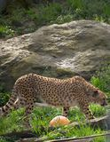 Cheetah on the prowl for some food. At the zoo royalty free stock images