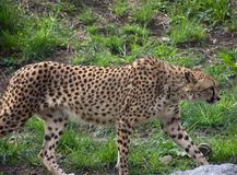 Cheetah on the prowl for some food. At the zoo stock images