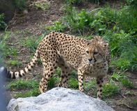 Cheetah on the prowl for some food. At the zoo stock photo