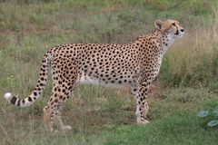 Cheetah Prowling Royalty Free Stock Image