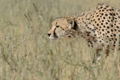 Cheetah prowling just before running for the hunt Stock Image