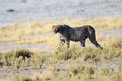 Cheetah prowling in the undergrowth Stock Images
