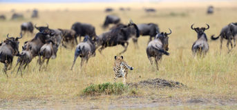 Cheetah pursuit a wildebeest Royalty Free Stock Images