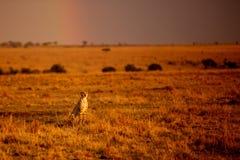 Cheetah and rainbow Stock Photo