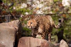 Cheetah. Ready to jump, hunting cheetah on a rock Royalty Free Stock Photos