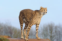 Cheetah ready to pounce Royalty Free Stock Images
