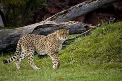 Cheetah ready to run. A cheetah watching prey, getting ready to charge Royalty Free Stock Photos