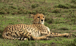 Cheetah Reclining Royalty Free Stock Images