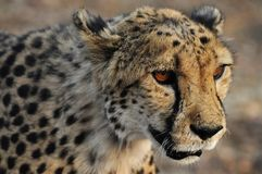 A cheetah with red eyes royalty free stock photo