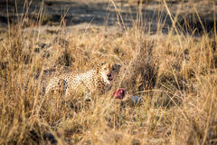 Cheetah on a Reedbuck kill in the Sabi Sabi game reserve. Royalty Free Stock Photo