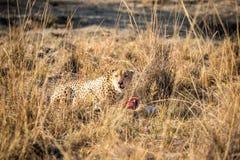 Cheetah on a Reedbuck kill in the Sabi Sabi game reserve. Royalty Free Stock Photos