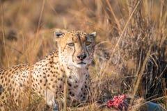 Cheetah on a Reedbuck kill in the Sabi Sabi game reserve. Stock Image