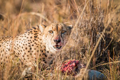 Cheetah on a Reedbuck kill in the Sabi Sabi game reserve. Stock Images